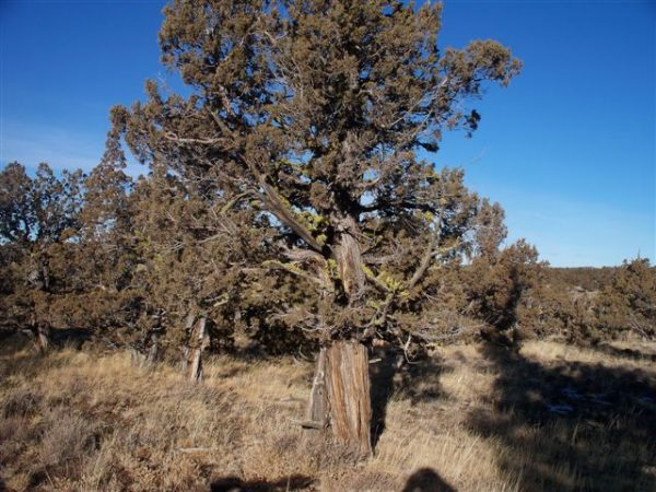 Juniper tree growing near the owhyee mountains